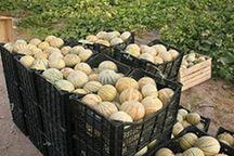 سالانه 8 هزارتن طالبی  دربستک تولید می شود