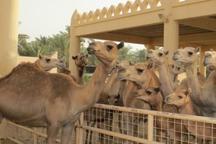 پرورش شترهای قطری؛ از شایعه تا واقعیت