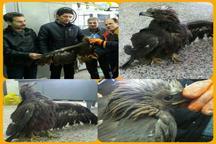 نجات یک بهله عقاب طلایی در تکاب توسط دوستدار محیط زیست