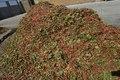 افزایش 2 هزار تنی تولید پسته خشک در خوشاب