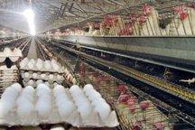 سرانه تولید تخم مرغ در آذربایجان شرقی 2 برابر کشور است