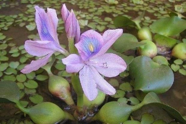خرید و فروش گیاه سنبل آبی در اردبیل ممنوع شد