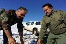 علوفه های زمستانی در منطقه حفاظت شده باشگل تاکستان توزیع شد