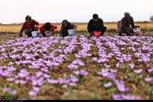 برداشت زعفران از مزارع استان کردستان آغاز شد