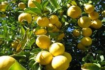 لیموشیرین جهرم در سبد میوه شب عید کشور قرار می گیرد