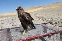 سه بهله پرنده شکاری از متخلفان در سیستان و بلوچستان کشف شد