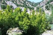 توزیع 2 هزار و 500 اصله نهال رایگان در شهرستان سلسله