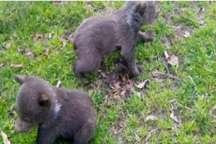 توله خرس های قهوه ای به دامن طبیعت جنگل گلستان بازگشتند