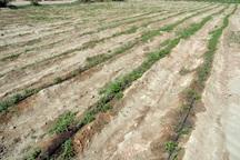 انتقال نشای گوجه فرنگی به مزارع دیر آغاز شد