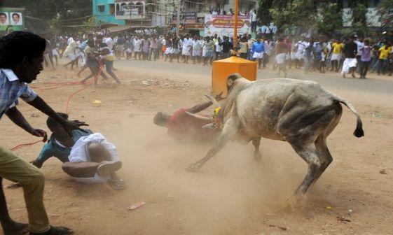 عکس/ گاو بازی در هند