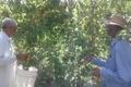مدیر جهاد کشاورزی: برداشت 1100 تن زردآلو در خاش آغاز شد