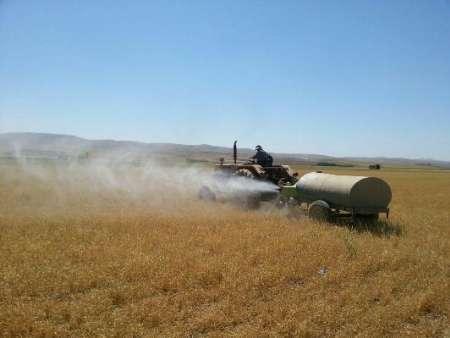 33هزار هکتار از مزارع غلات بوکان علیه آفت سن سمپاشی شد