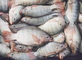 بازار داغ ماهی های چینی و کره ای در ایران
