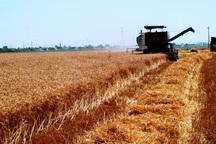گندم کاران دهلرانی 54 هزار تن محصول درو کردند