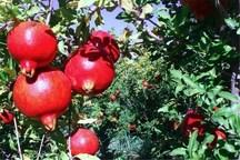 غربت میوه بهشتی در مازندران