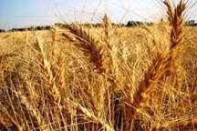 10 درصد گندم استان در کمیجان تولید می شود