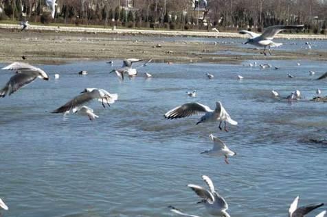 پرندگان مهاجر در شمال ایران به دام افتاده اند