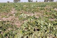 هواشناسی دزفول نسبت به سرمازدگی محصولات کشاورزی هشدار داد