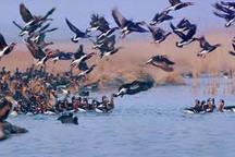 تیمارداری 70 قطعه پرنده مصدوم در محیط زیست غرب گلستان