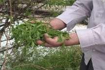 خسارت 20 میلیارد ریالی تگرگ به باغ های ملکان