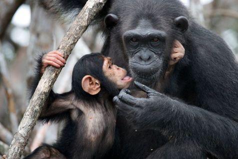 شامپانزه خوب را از بد تشخیص می دهد!