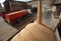 خرید ۱۱۰ هزار تن گندم از کشاورزان قزوینی