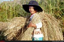 برنجکاران رغبتی به کشت محصول دیگر ندارند  قیمت برنج باید برای کشاورزان اقتصادی باشد