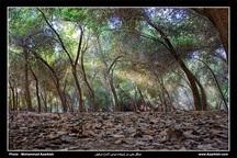 طرح احیای جنگل های دز  آغاز شد