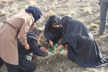 جمعیت سن گندم در اماکن زمستان گذران این آفت در خراسان شمالی مطلوب است