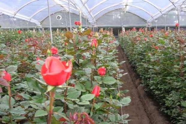 ظرفیت تولید گل رز هلندی در خلخال پنج برابر شد