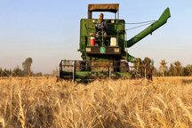 فقط 1100 هکتار مزارع گناوه قابل برداشت است