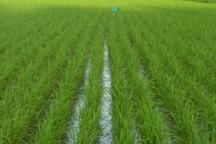برنج کرمانشاه را حفظ کنیم