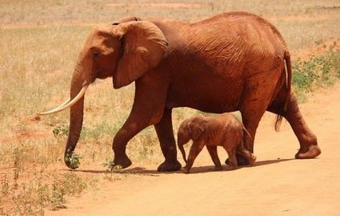 خطر انقراض فیلهای آفریقایی تا سال ۲۰۲۲