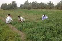 برداشت یونجه در ایرانشهر از مرز 7500 تن گذشت