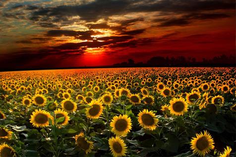 چگونه گل های آفتاب گردان، خورشید را در آسمان دنبال می کنند