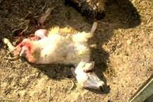 حمله 4 قلاده گرگ به گله گوسفندان در شهرستان اسفراین