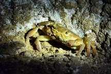 گونه نادر خرچنگ در قنات های ماهان مشاهده شد