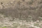 باغهای تاریخی چرام در حال نابودی