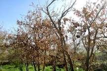 بی آبی سبب خشکی 700 هکتار از باغ های سمیرم شد