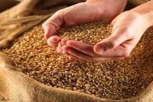 2300 تن بذر اصلاح شده در شیروان توزیع شد