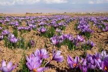 9.5 کیلوگرم زعفران از مزارع شاهین دژ برداشت می شود