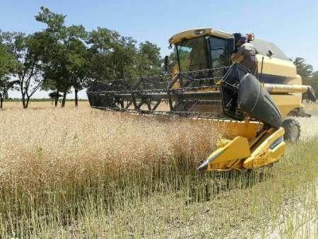 438 تن محصول کلزا از مزارع میاندوآب برداشت می شود