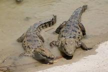 2 سرتمساح پوزه کوتاه در نیکشهر از چاه نجات یافتند