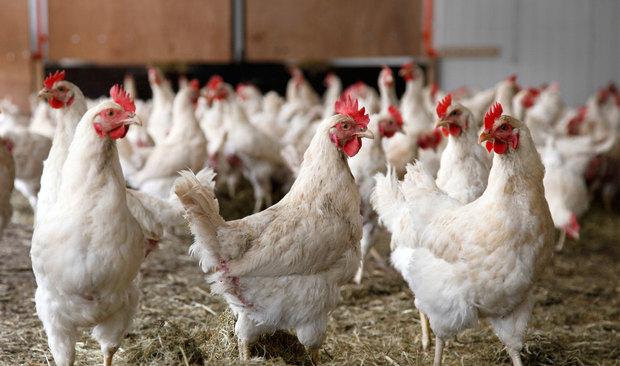تولید سالانه 5 هزار و 700 تن گوشت سفید در آستانه اشرفیه