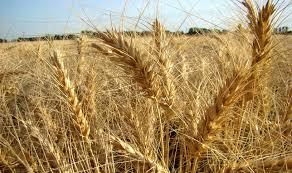 امسال گندم وارد نمیشود