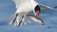 جی پلاس: تصاویر حیرت انگیز یک عکاس حرفه ای از لحظه شکار ماهی