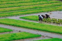 کشت جایگزین به مدیریت آب کمک می کند
