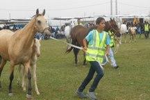جشنواره ملی زیبایی اسب اصیل عرب در میبد آغاز شد