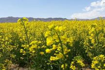 رئیس جهاد کشاورزی قم: سطح کشت کلزا در استان چهار برابر شد