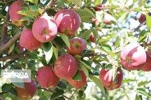 تولید سالانه ۶۳هزار تن سیب درختی در لرستان
